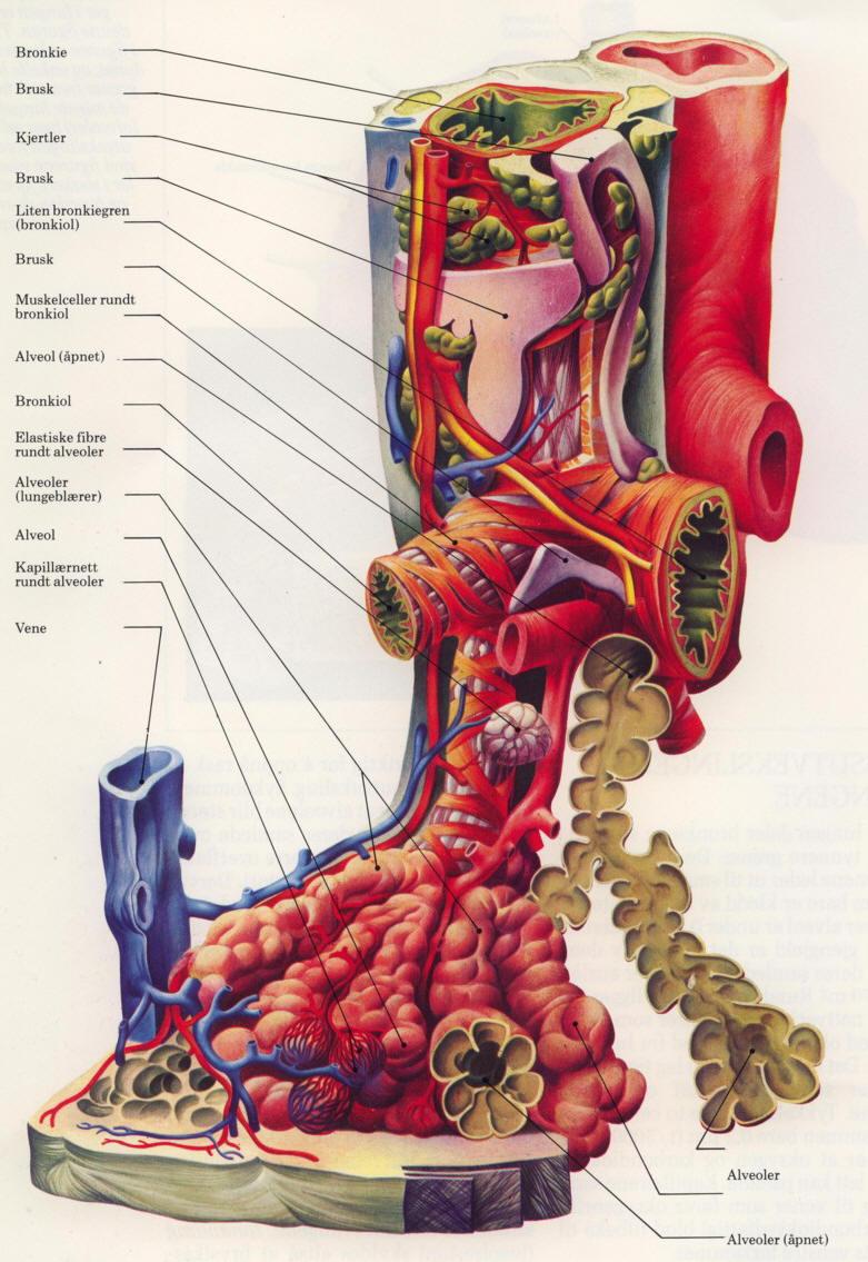 kroppens organer bilder